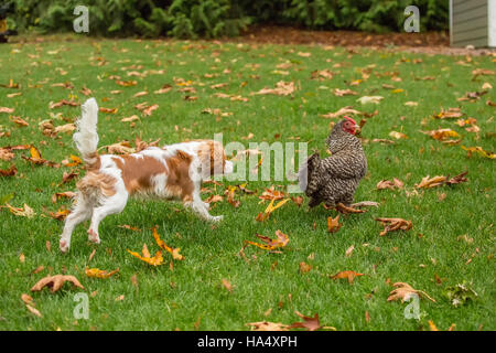 Six month old Cavalier King Charles Spaniel puppy trying to catch a free-ranging Dominique chicken outside on an - Stock Photo
