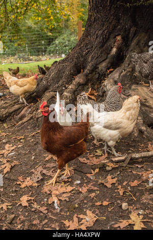 Free-ranging chickens underneath a large tree in Issaquah, Washington, USA. - Stock Photo