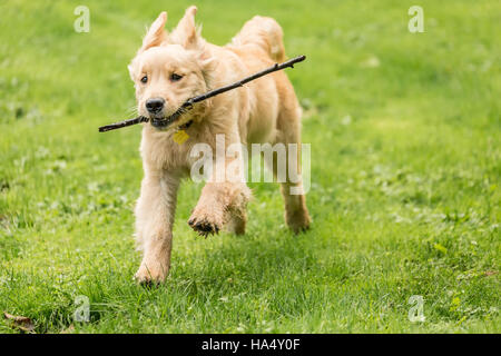 four month old golden retriever puppy sophie posing on her lawn. Black Bedroom Furniture Sets. Home Design Ideas