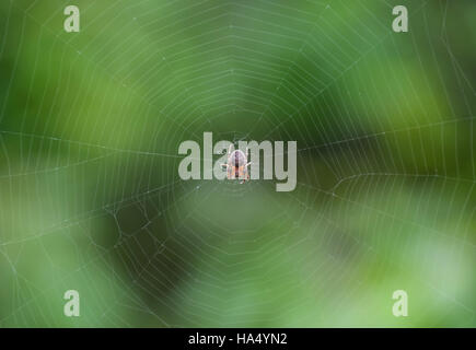 Small spider in his web of Araneus. Lovcen spider network. - Stock Photo