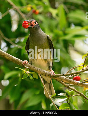 Male Australian green figbird, Sphecotheres viridis with vivid red fruit in bill against background of green foliage - Stock Photo