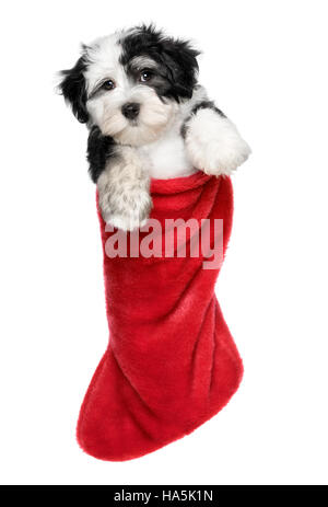 Cute Bichon Havanese puppy dog is hanging on a Christmas - Santa boots - Stock Photo