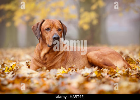 A Rhodesian Ridgeback dog laying down in leaves in a park on an autumn day. England, UK. November 2016. - Stock Photo