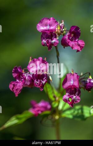 Himalayan  balsam, Impatiens glandulifera, invasive plant - Stock Photo