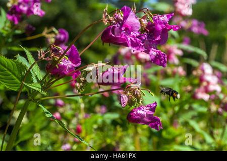 Himalayan  balsam, Impatiens glandulifera, invasive plant, flying bumblebee