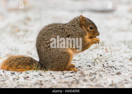 Fox Squirrel foraging on snowy ground. - Stock Photo