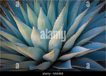 Agave americana, common names sentry plant, century plant, maguey, or American aloe, is a species of flowering plant in the family Agavaceae, native t Stock Photo