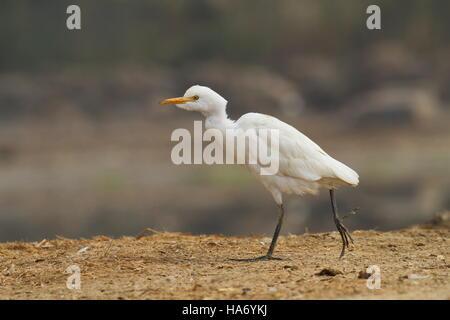 Cattle Egret walking - Stock Photo