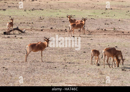 A small herd of Coke's Hartebeest or Kongoni as they are also known - Stock Photo
