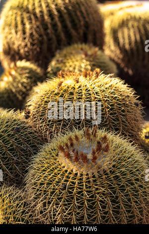 Golden barrel cactus Echinocactus grusonii flourishes in the desert of Mexico - Stock Photo