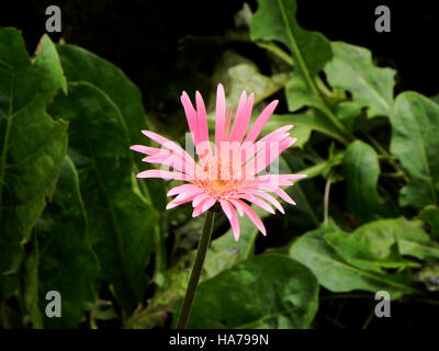 wonderfull pink flower Gerbera close up - Stock Photo