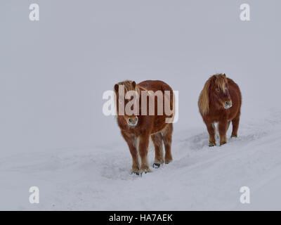 shaggy haflinger horses, mare and foal,  on a country road full of snow in the mountains - Stock Photo