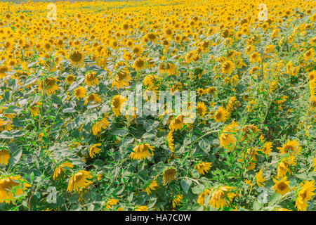 field of endless sunflowers - Stock Photo
