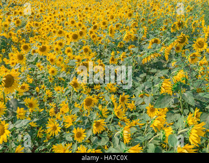 field of sunflowers with thousands of blooms - Stock Photo