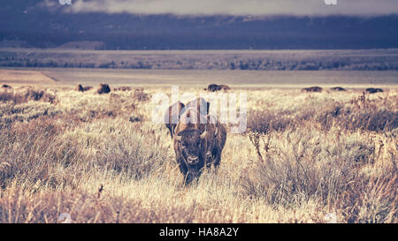 Retro toned herd of American bison (Bison bison) grazing in the Grand Teton National Park, Wyoming, USA. - Stock Photo