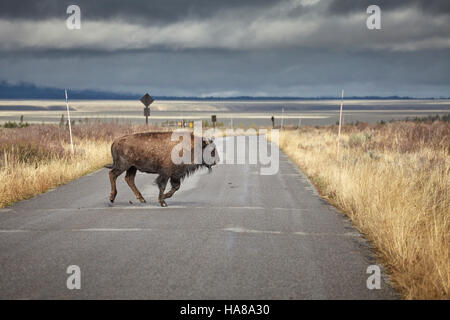 Young American bison (Bison bison) running across road in Grand Teton National Park, Wyoming, USA. - Stock Photo
