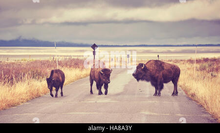 Vintage toned American bison (Bison bison) crossing road in Grand Teton National Park, Wyoming, USA. - Stock Photo