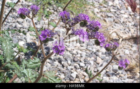blmnevada 8953764742 Notch Leaved Phacelia - Stock Photo
