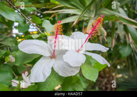 White Hibiscus flowers in a beautiful garden - Stock Photo