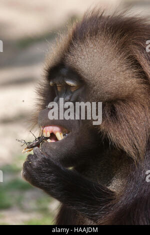 Gelada baboon (Theropithecus gelada) eating the stag beetle (Lucanus cervus) at Brno Zoo in South Moravia, Czech - Stock Photo