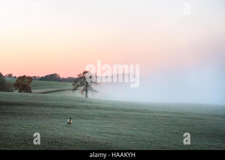 Atmospheric fog drifts across the countryside as the sun rises with a lone sheep in a frosty field, rural Burley - Stock Photo