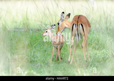 Impala (Aepyceros melampus) mother and new born infant, mother still cleaning the baby, Maasai Mara National Reserve, - Stock Photo