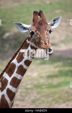 Reticulated giraffe (Giraffa camelopardalis reticulata), also known as the Somali giraffe. - Stock Photo
