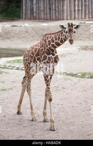 Reticulated giraffe (Giraffa camelopardalis reticulata), also known as the Somali giraffe at Brno Zoo in South Moravia, Czech Republic.