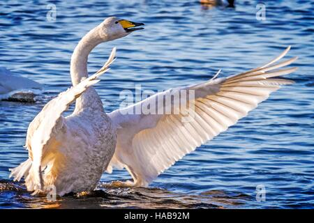 Whooper Swans, Burscough, Lancashire.  28/11/2016:  When the summer gives way to autumn, almost the entire population - Stock Photo