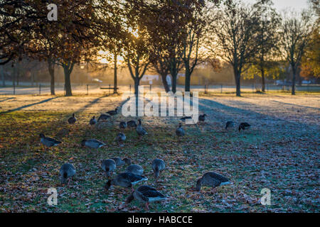 Clapham Common, London, UK. 29th November, 2016. Geese enjoy a rest stop as the sun rises. It is a cold and frosty - Stock Photo