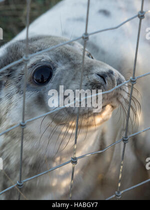 Donna Nook, Lincolnshire, UK. 29th Nov, 2016. New born baby seals are as interested in humans as we are of them. - Stock Photo