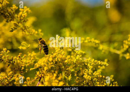 small working bee flying away with honey in golden wildflowers - Stock Photo