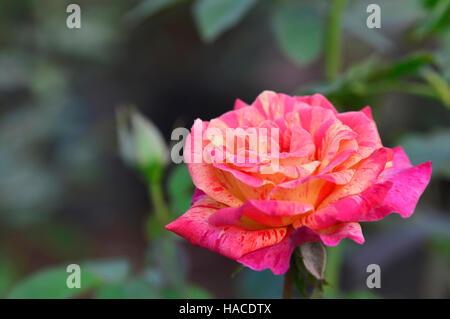 Rosa gallica versicolor near Pune, Maharashtra, India - Stock Photo