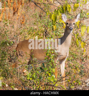 Female White-tailed Deer (Odocoileus virginianus)  in a wildlife management area - Stock Photo