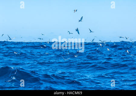 Seabirds fishing near Ball's Pyramid, 20km from Lord Howe Island, New South Wales, NSW, Australia - Stock Photo