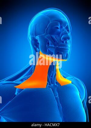 Illustration of the platysma muscle Stock Photo: 126898973 - Alamy