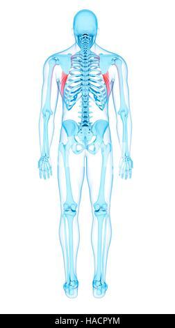 Illustration of the serratus anterior muscles. - Stock Photo