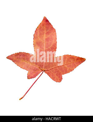 Closeup Photograph of autumnal withering maple tree or acer tree Leaf isolated on white background in high resolution - Stock Photo