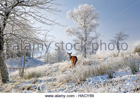 A lone Red Deer hind on a snow, mist and frost covered winter landscape in the Scottish highlands. - Stock Photo