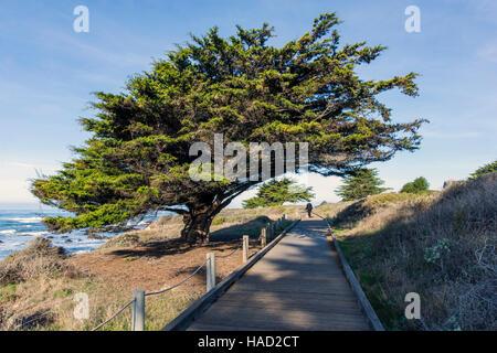Woman walking dogs on wooden boardwalk; Cypress tree; San Simeon State Park; San Simeon; California; USA - Stock Photo