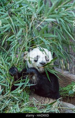 Adult giant panda eating bamboo leaves at Chiang Mai Zoo, Thailand - Stock Photo