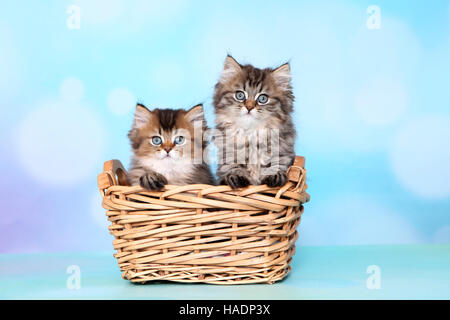 British Longhair. Two kittens (8 weeks old) in a wicker basket. Studio picture against a blue background - Stock Photo