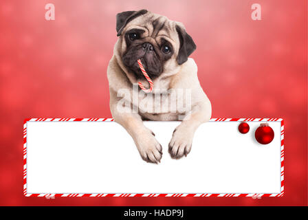 cute pug puppy dog eating candy cane for christmas, hanging with paws on blank sign on red background - Stock Photo