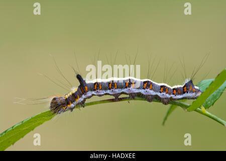 Grey dagger (Acronicta psi), caterpillar on leaf, Burgenland, Austria - Stock Photo