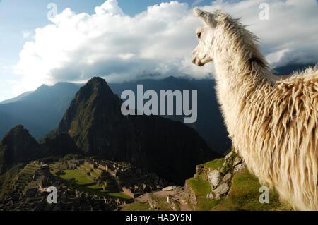 Llama looking at Machu Picchu, Peru, South America - Stock Photo
