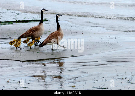 Canadian geese surrounded by young goslings on Puget Sound, Gig Harbor, Washington - Stock Photo