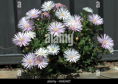 White Mesembryanthemum also known as, ice plant flowers, Livingstone Daisies in full bloom - Stock Photo