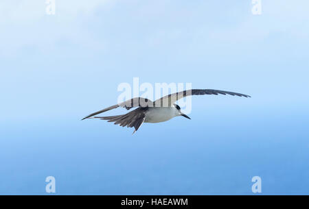 Sooty Tern (Sterna fuscata) in flight,  Lord Howe Island, New South Wales, NSW, Australia - Stock Photo