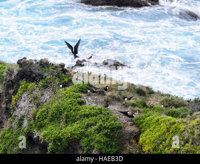 Sooty Tern (Sterna fuscata) breeding colony, Muttonbird Point,  Lord Howe Island, New South Wales, Australia - Stock Photo