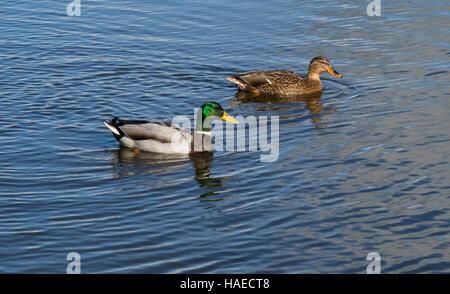Mallard ducks swimming, (Anas platyrhynchos), Dorset, UK. - Stock Photo